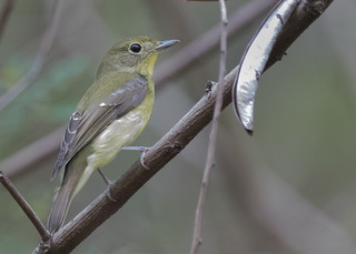 Green-backed Flycatcher | by See Toh Yew Wai
