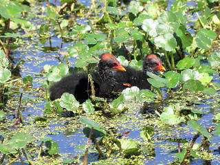 Common Gallinule (Gallinula galeata)(Chicks) | by Gerald (Wayne) Prout