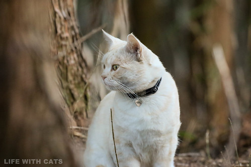 4T4A4740 Cream tabby Japanese cat 薄茶トラ猫