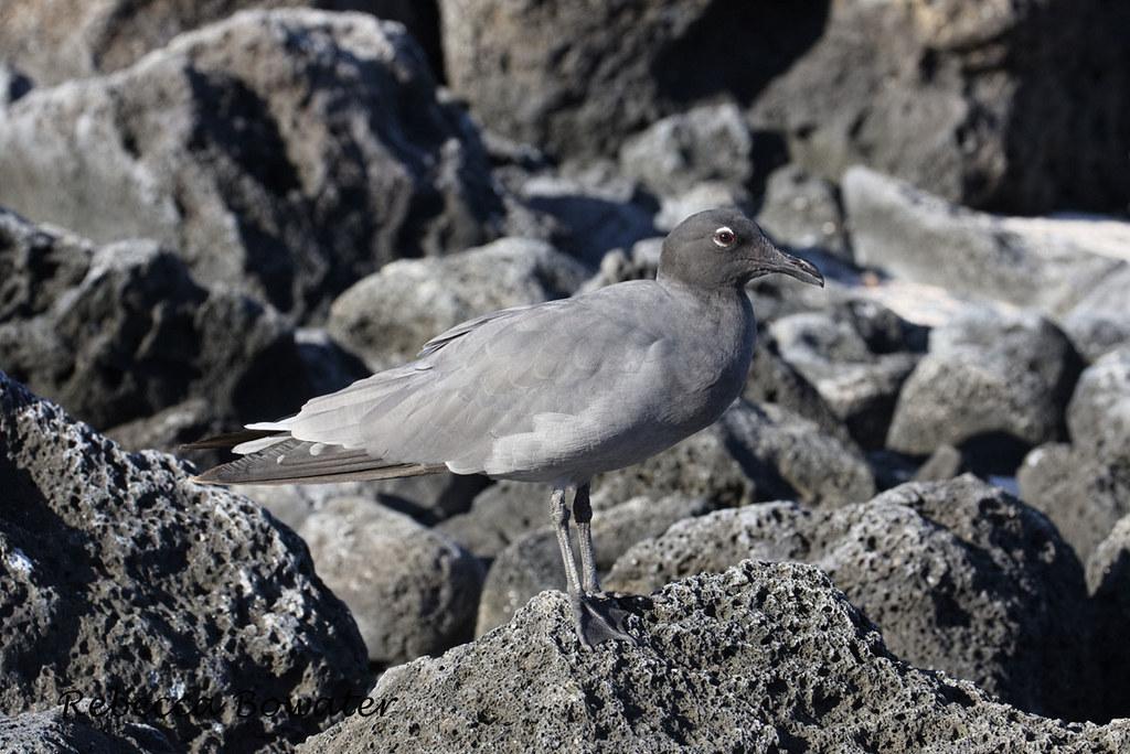 Genovesa Is. Lava Gull standing on lava