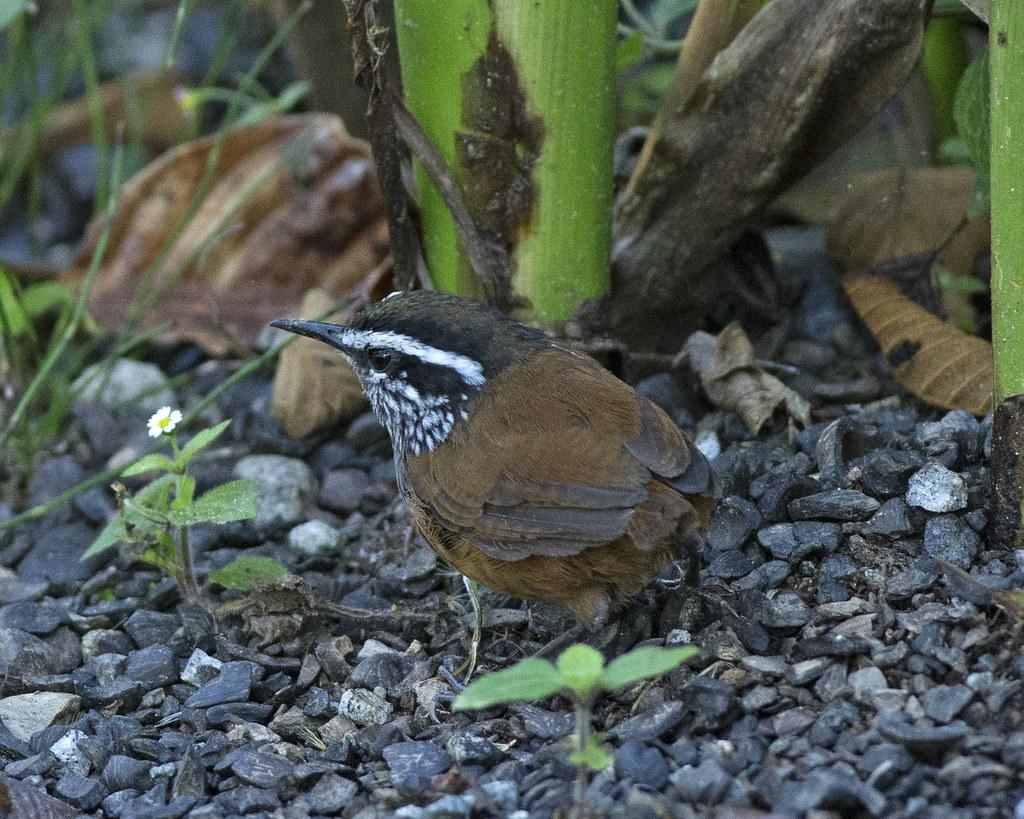 Imagen de una de las aves del Quindio: Cucurachero Pechigris (Henicorhina Leucophrys)
