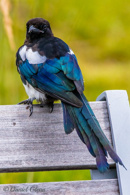 A Black-billed Magpie (Pica hudsonia) at Westchester Lagoon