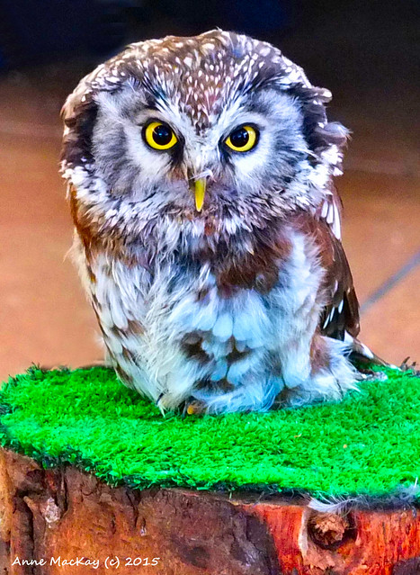 Scottish Airshow a little owl from the owl show giving me the evil eye giggle 6 September 2015 by Anne MacKay