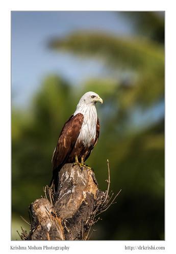 india birds asia aves karnataka in accipitridae brahminykite haliasturindus chordata haliastur uttarakannada bhatkal accipitriformes redbackedseaeagle haliasturindusboddaert1783 tamronsp150600mmf563divcusdlensreview