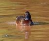 Hardhead (aka White-Eyed Duck) (Aythya australis) (45 – 60 centimetres) (male).02 by Geoff Whalan