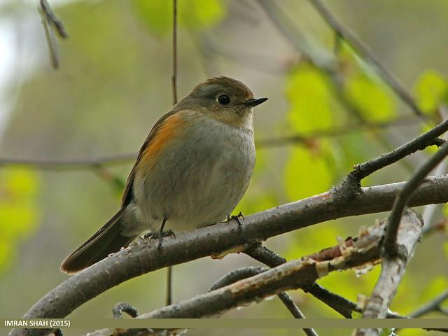 Orange-flanked Bush Robin (Tarsiger cyanurus)