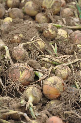 Onion Harvesting, Little Whelnetham | by Martin Pettitt