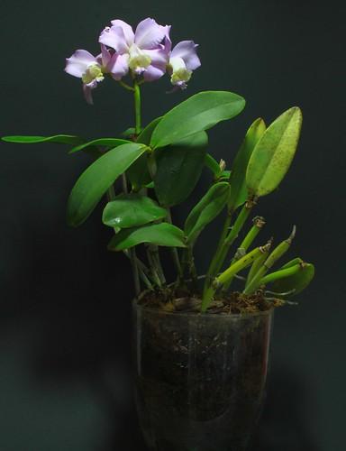 """"""" Cattleya loddigesii var. martinelli """"   by W. Pfennig"""