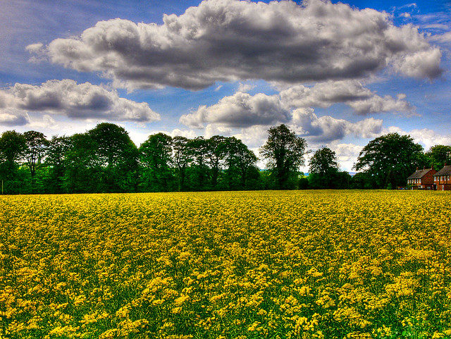 Rapeseed Fields Forever
