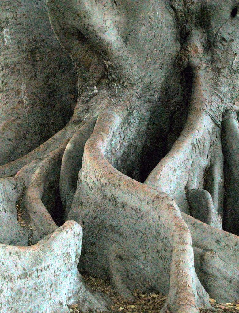 DSCN0798 THE MORETON BAY FIG TREE IN SANTA BARBARA CALIF FLICKR