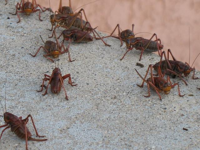 Mormon cricket confab.