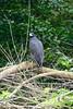 Buteogallus Urubitinga / great black Hawk / Cavilan Cangrejero Grande / Schwarzbussard Amazon River Peru by roli_b