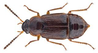 Phyllodrepoidea crenata (Gravenhorst, 1802) | by urjsa