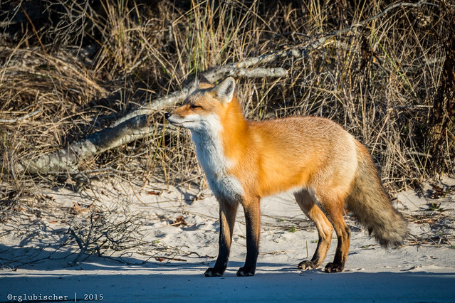 Red Fox at IBSP - 12