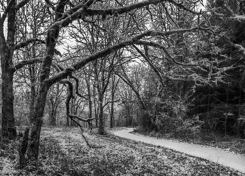 dustingofsnow january hike oregon tprd blackandwhite windingpath coopermountainnaturepark trail bw snowy path winding winter walk