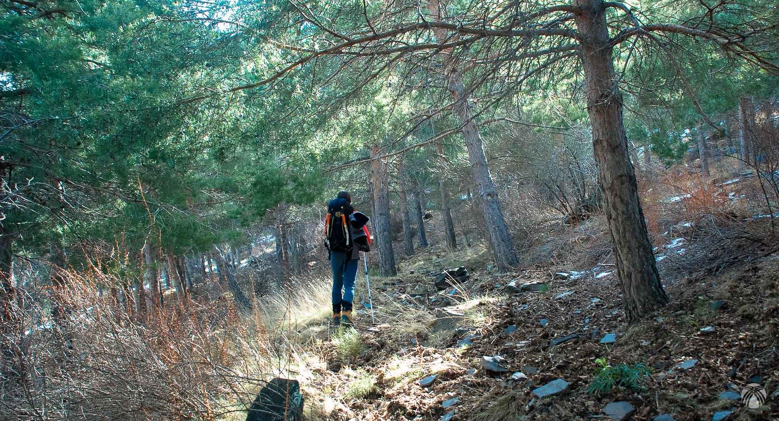 Entramos en el bosque de pino