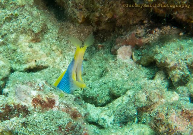 Ribbon Eel, (Explored) Rhinomuraena quaesita, Tanjung Kelapa reef, Manado, North Sulawesi, Indonesia
