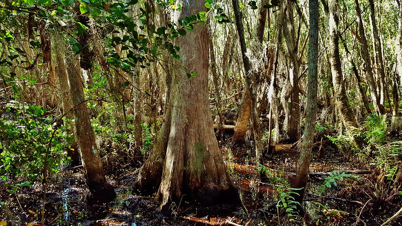 Loxahatchee Cypress Swamp 2017