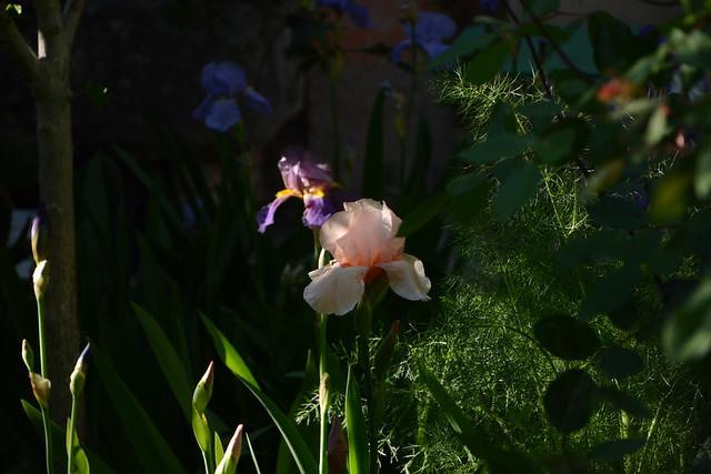 Floraisons 2016 de nos grands iris barbus et Bilan 32435039861_25bb7519b1_z
