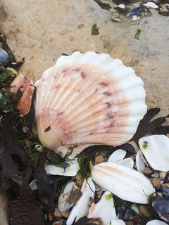 seashell, saint jacques | by SolveigJW