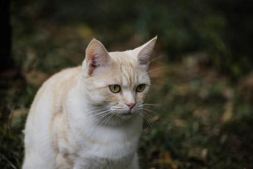IMG_0657 Cream tabby Japanese cat 薄茶トラ猫