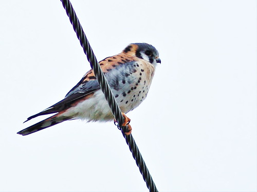 American Kestrel male 3-20151220