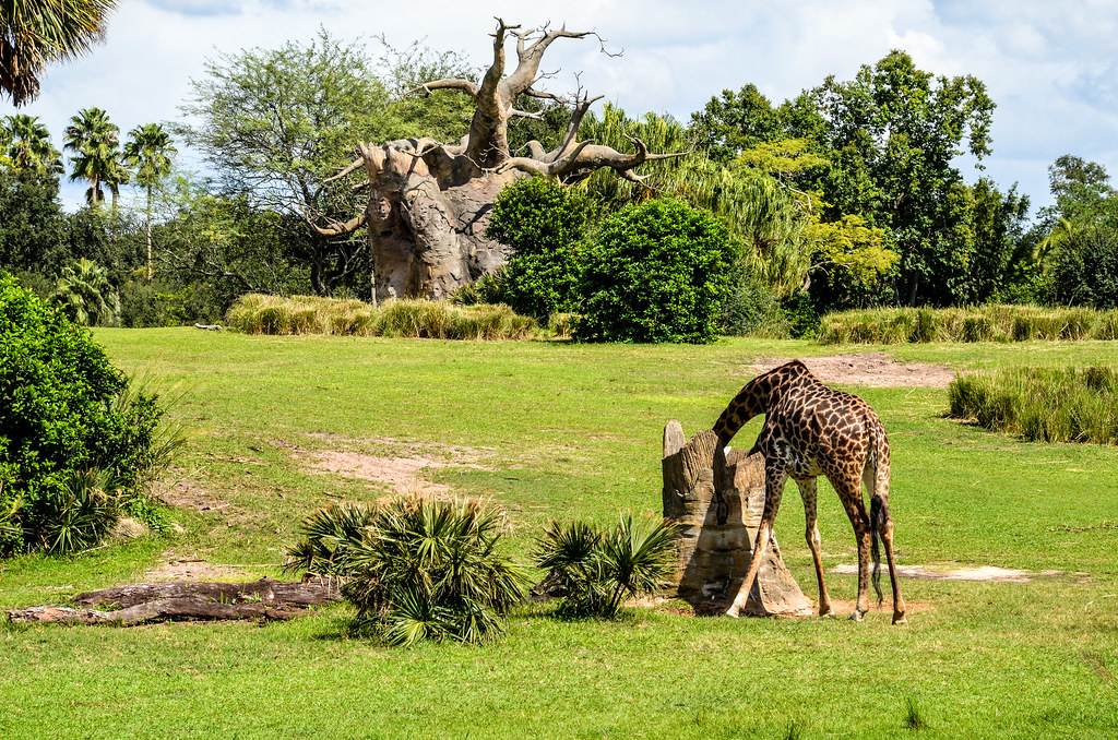 Giraffe savannah safari AK