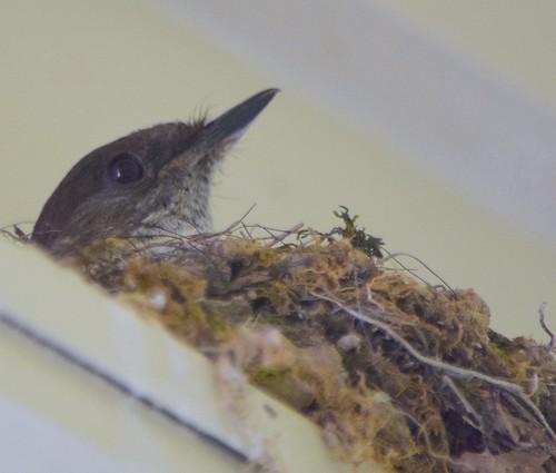 Eastern Phoebe On Nest