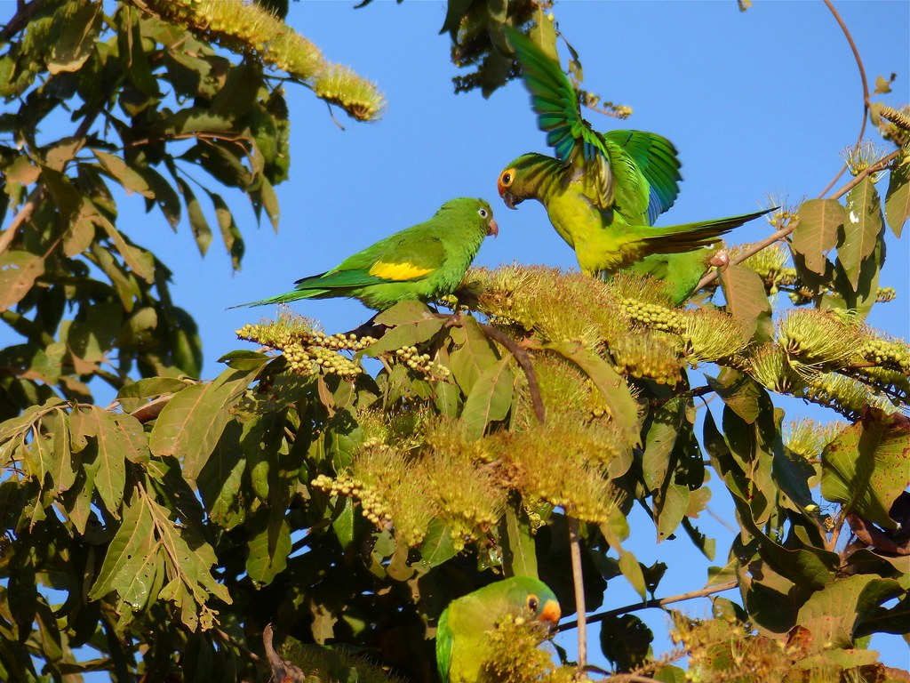 Yellow-chevroned Parakeet (Brotogeris chiriri)(Left) and Peach-fronted Parakeet (Aratinga aurea)(Right) on Combretum flowers ...