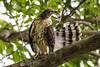 Crested Goshawk (Accipiter trivirgatus) by Jerold Tan