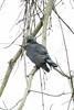 Hook-billed Kite (Chondrohierax uncinatus) by Ron Winkler nature
