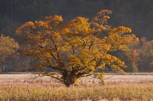 autumn color tree fall field leaves landscape golden october frost pentax farmland glowing f71 shelsilverstein thegivingtree mcm 2015 tmt k5ii 50135mmf28lens