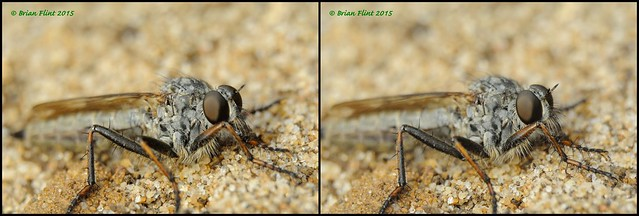 Robber Fly - 3d cross-view