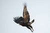Greater Spotted Eagle (Clanga clanga) by Sergey Pisarevskiy