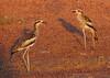 Bush Stone Curlews (aka Bush Thick Knee) (Burhinus grallarius) (55 centimetres).01 by Geoff Whalan