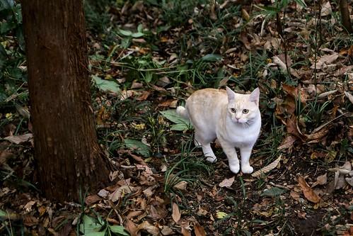 IMG_0731 Cream tabby Japanese cat 薄茶トラ猫