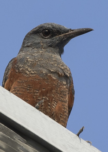Blue Rock Thrush | by See Toh Yew Wai