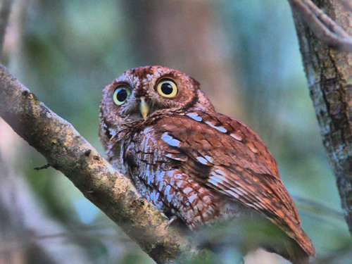 Eastern Screech-Owl 02-20170219