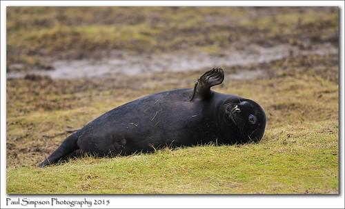 Black Grey Seal