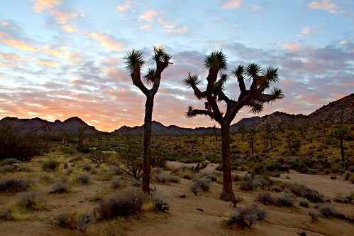 joshuatreenationalpark desert sunrise nationalpark southwest mojave joshuatree dawn