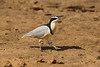 Pluvianus  aegyptius - Egyptian Plover by Roger Wasley