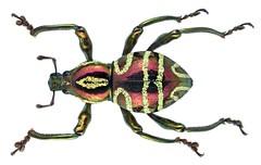 Pachyrrhynchus speciosus Waterhouse, 1841