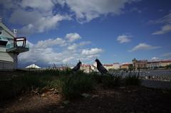 Praha pigeons