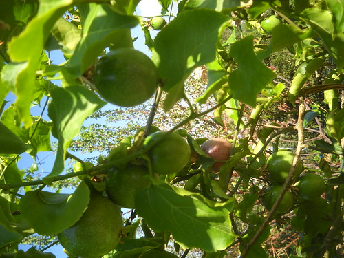 Passion Fruit Ripe & Green Large Fruit and qty aa Oct 12, 2015   by toutberryfarms