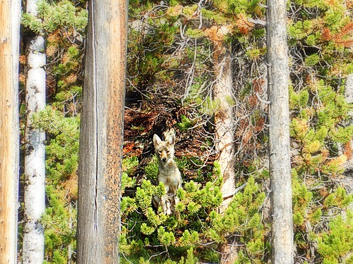 Coyote in Yellowstone national park | by pacoalfonso
