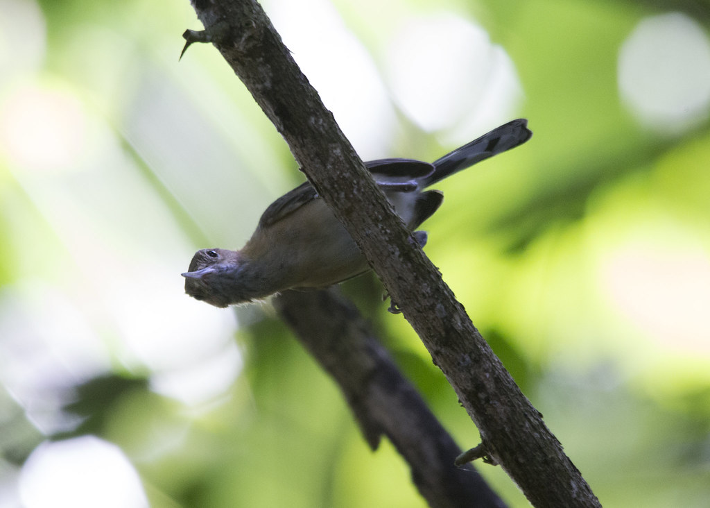 Ramphocaenus melanurus / Long-billed Gnatwren