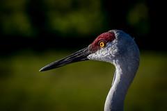 sandhill crane portraits