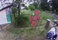 the red fox of Wallenstein-Radwanderweg, June 2015