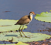 Comb-Crested Jacana (Irediparra gallinacea) (immature).03 by Geoff Whalan