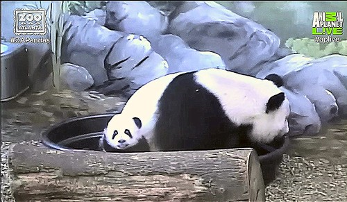 "Ya Lun: ""Mama brought me out to say Hewwo!"" Capture 10:31 AM EST 